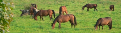 Edle Pferde auf dem Haff